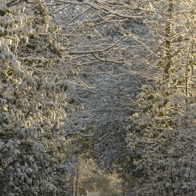 """Snow Covered Tree Canopy"" stock image"