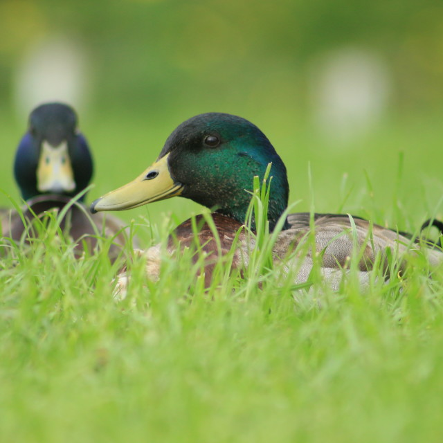 """Two Fat Ducks"" stock image"