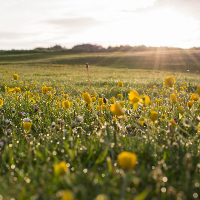 """Buttercups and Daisies"" stock image"