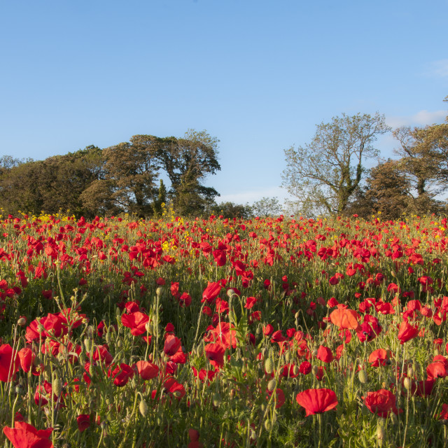 """Field of Poppys"" stock image"