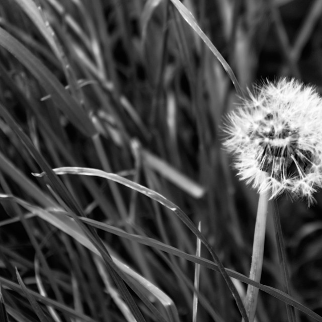 """""""Dandelion ready to blow"""" stock image"""