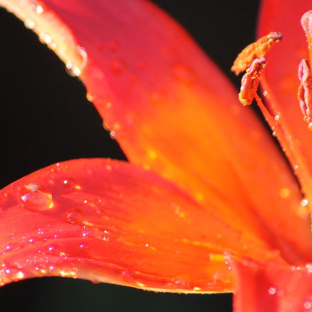 """Raindrop Lily"" stock image"
