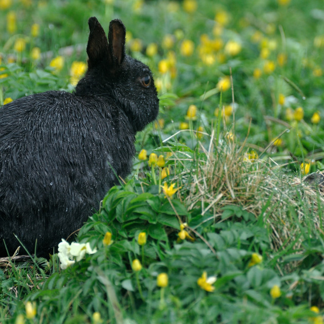 """Black Rabbit"" stock image"