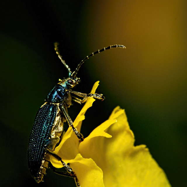 """Lilly beetle"" stock image"