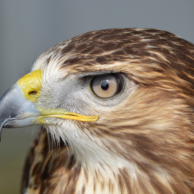 """Red-Tailed Buzzard"" stock image"