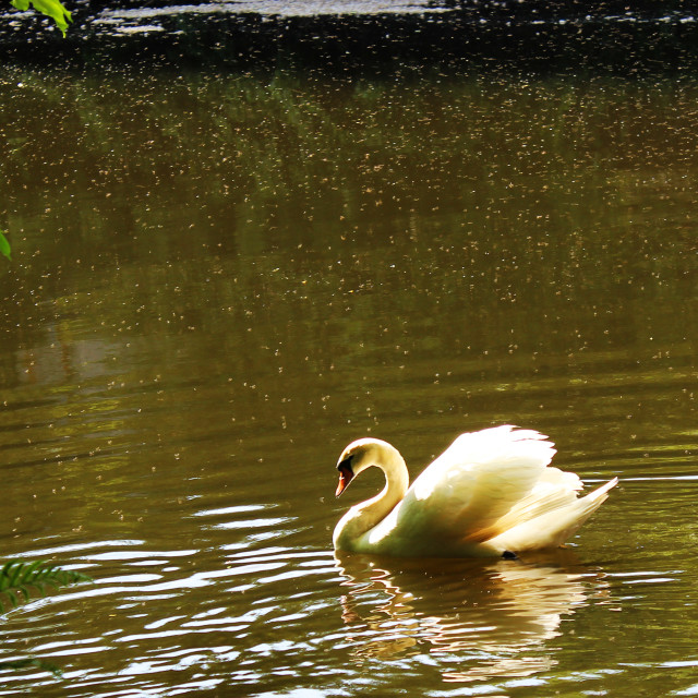 """Swan Lake (River)"" stock image"