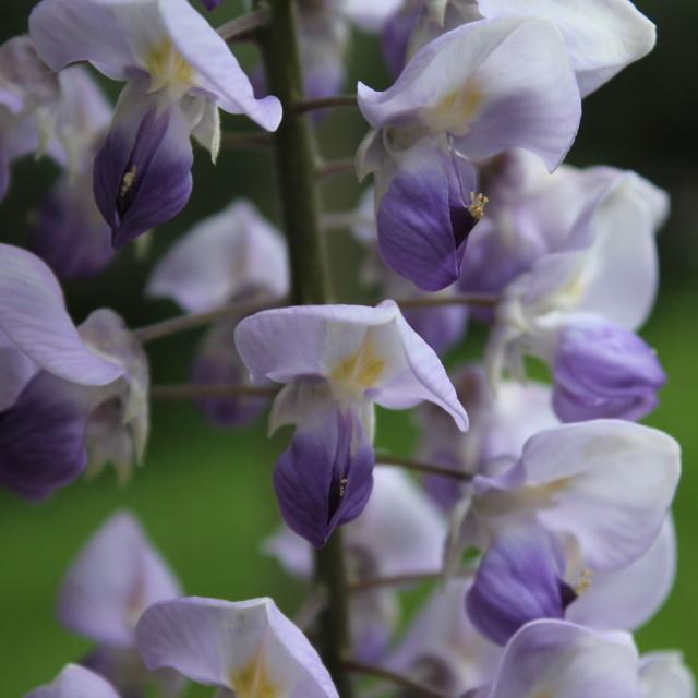 """Purple Haze"" stock image"