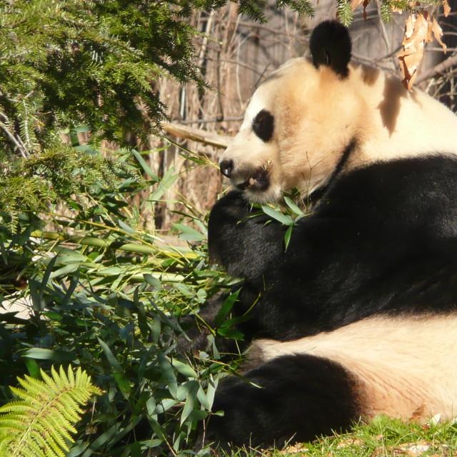 """""""Eating Panda"""" stock image"""