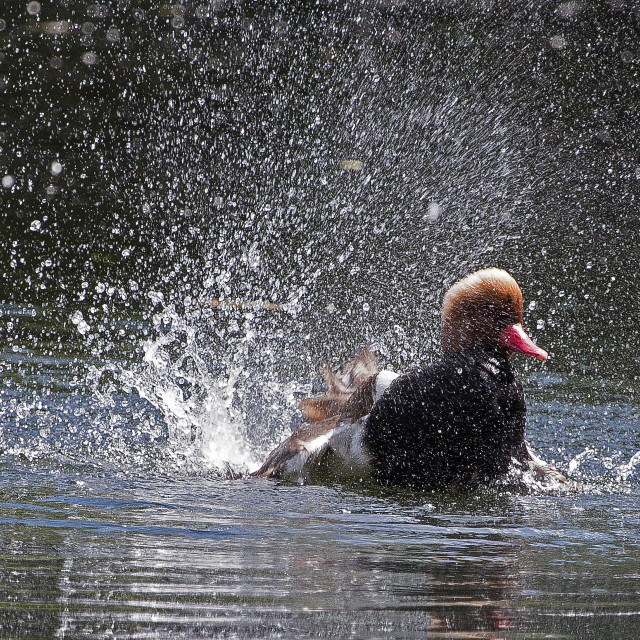 """Duck Shower."" stock image"