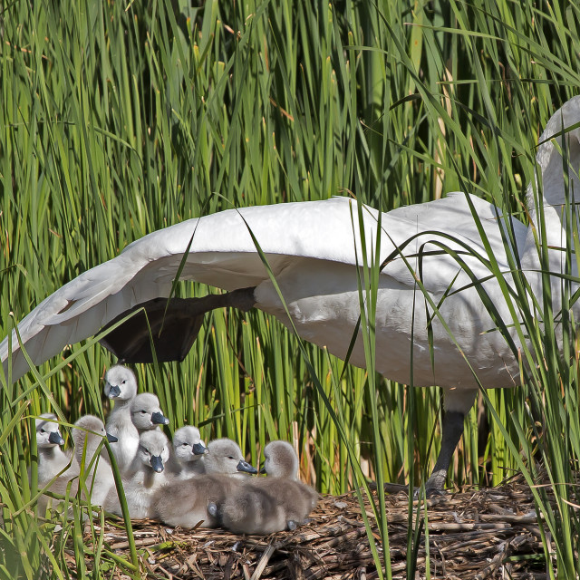 """""""Newly hatched swan ducklings."""" stock image"""