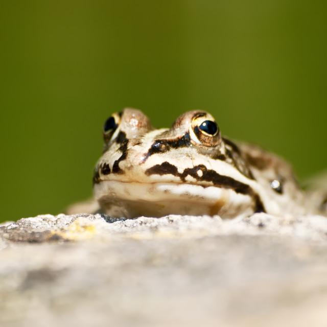 """Little pond frog"" stock image"