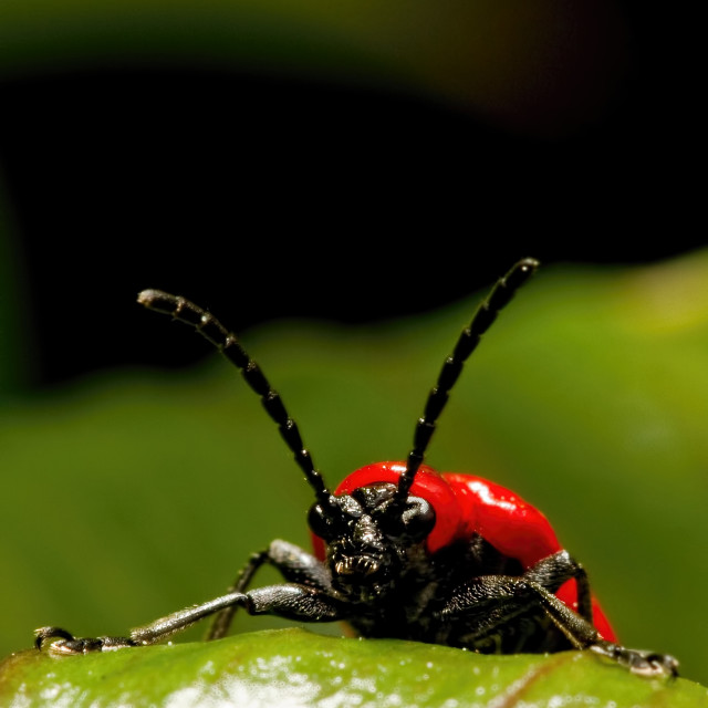 """Scarlet Lilly beetle"" stock image"