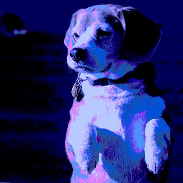 """Posterized Beagle #3"" stock image"