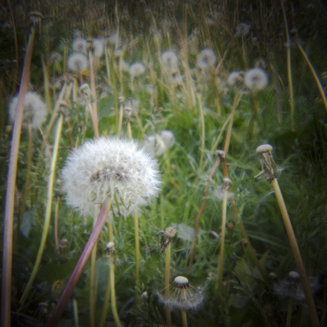 """""""Dandelion Gone to Seed"""" stock image"""