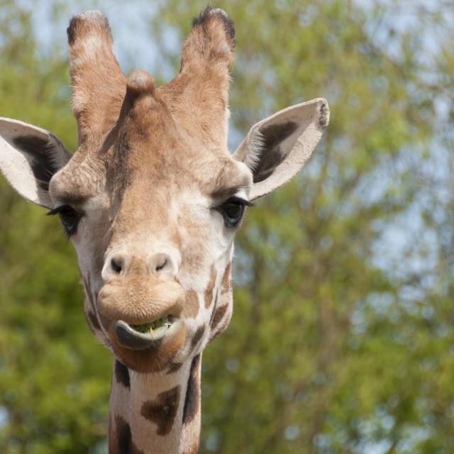 """""""Giraffe"""" stock image"""