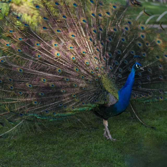 """Peacock Plummage"" stock image"