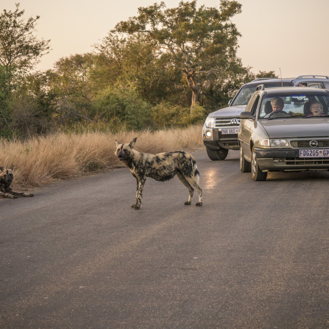 """Wild Dogs on the Road in Kruger National Park"" stock image"