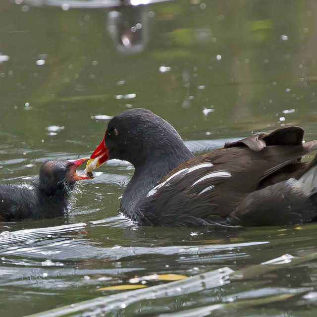 """Moorhen and chick."" stock image"