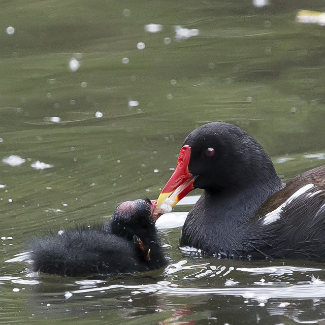 """""""Moorhen and chick."""" stock image"""