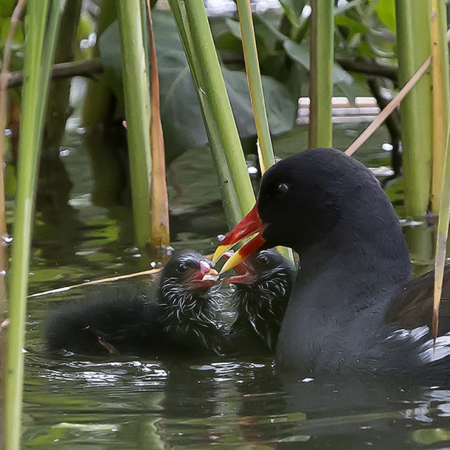 """""""Moorhen and chicks."""" stock image"""