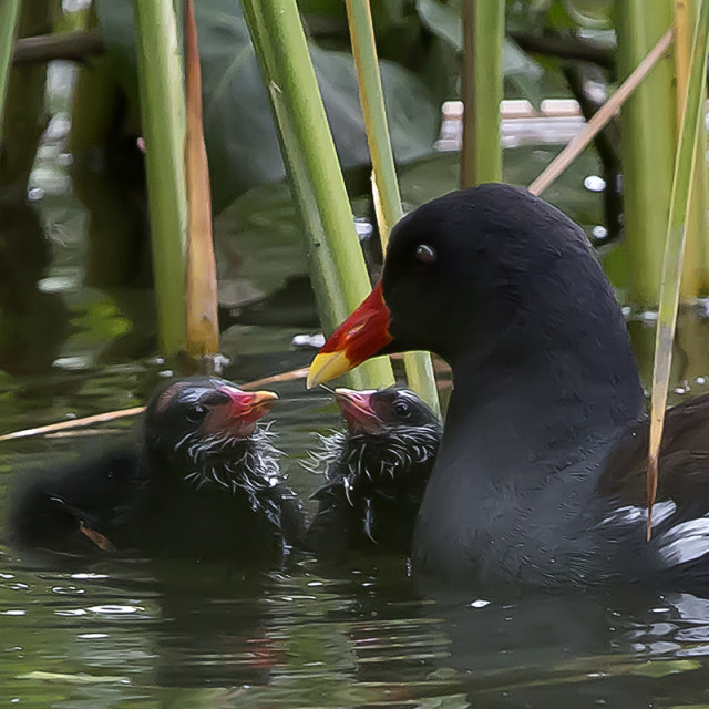 """""""Moorhen and chicks"""" stock image"""
