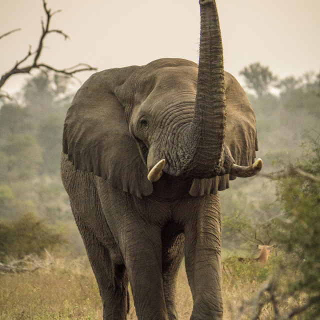 """Elephant Lifting Trunk in Kruger National Park, South Africa"" stock image"
