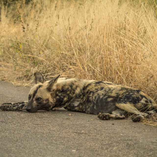 """Pregnant Wild Dog Relaxing At Kruger National Park, South Africa"" stock image"
