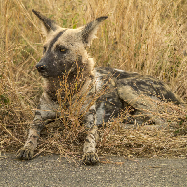 """Wild Dog on the Road in Kruger National Park"" stock image"