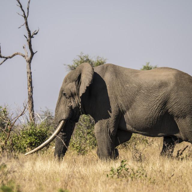 """A Huge 'Tusker' Bull Elephant in Kruger National Park, South Africa"" stock image"