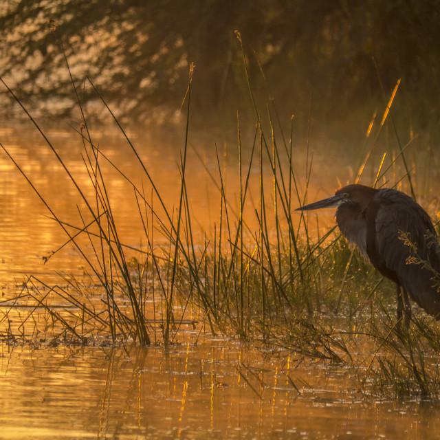 """Goliath Heron Fishing In The Early Morning Glow"" stock image"