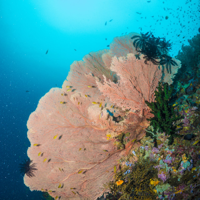 """""""Sea Fan on a Coral Reef in Southern Leyte, Philippines"""" stock image"""