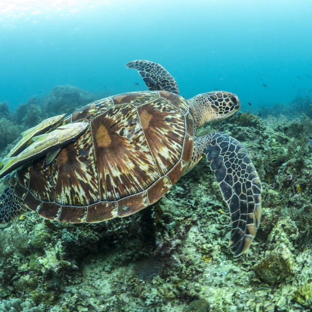 """Green turtle swimming over a coral reef in the Philippines"" stock image"