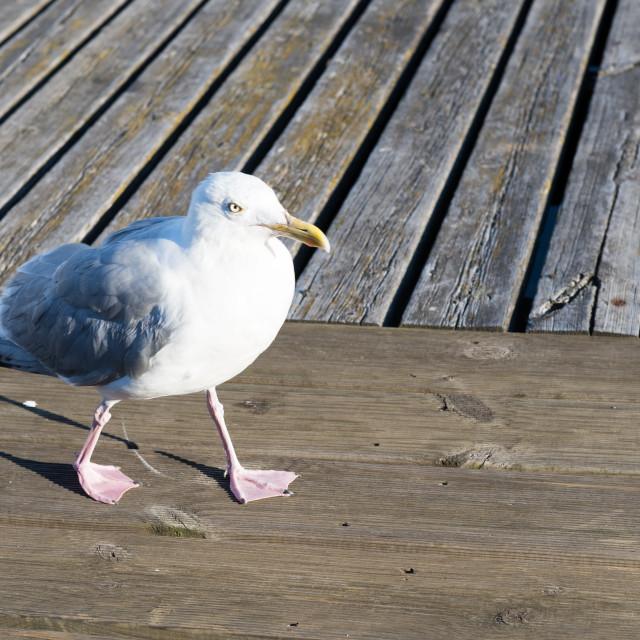 """Closeup of herring gull, Larus argentatus walking"" stock image"