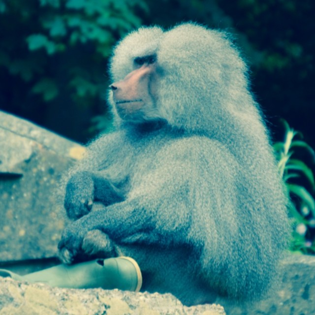 """""""Monkey with welly"""" stock image"""