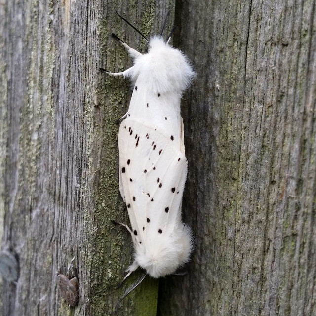 """Ermine Moths"" stock image"