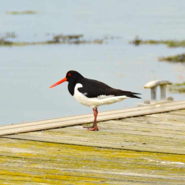 """Oyster Catcher"" stock image"