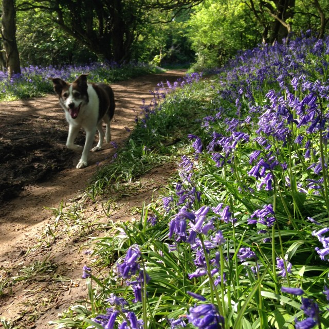 """Dog in a bluebell wood"" stock image"