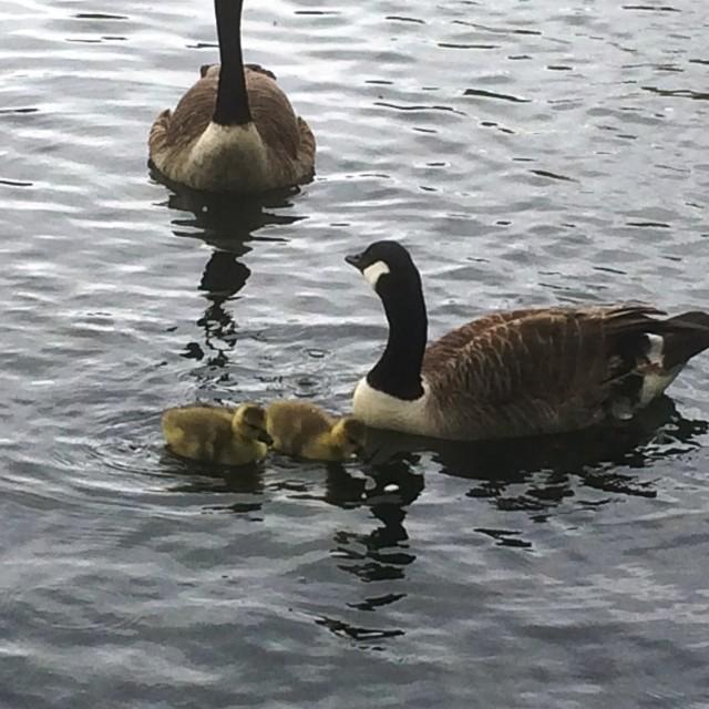 """""""Geese & Goslings"""" stock image"""