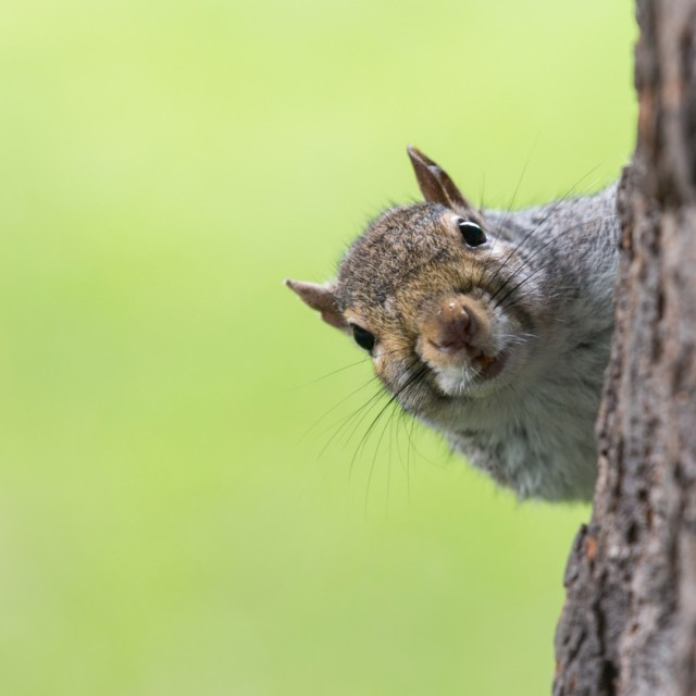 """Peeking Squirrel"" stock image"