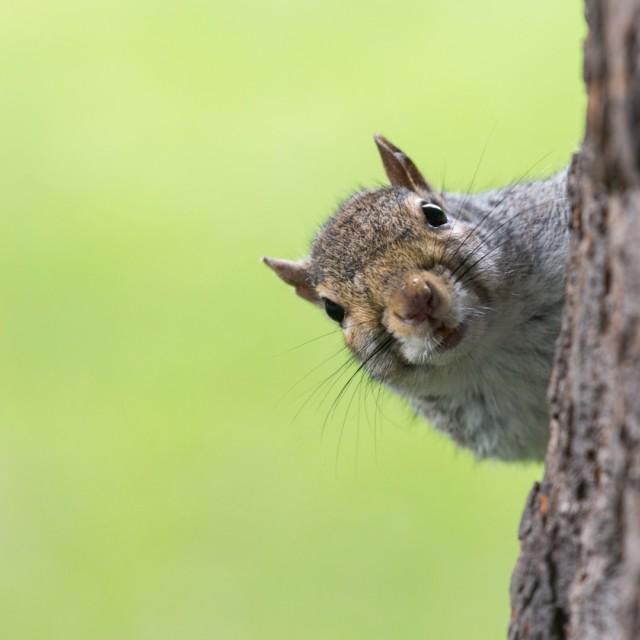 """Peeking Squirrel"" stock image"