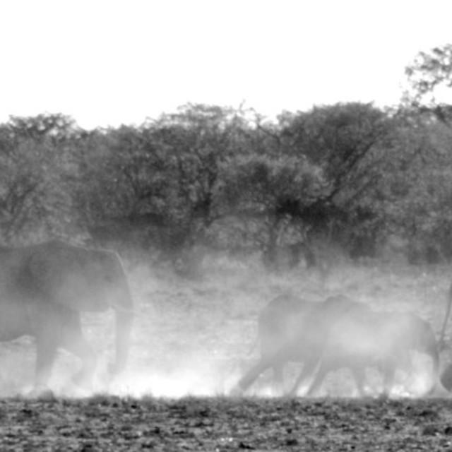 """""""Etosha's Elephants"""" stock image"""