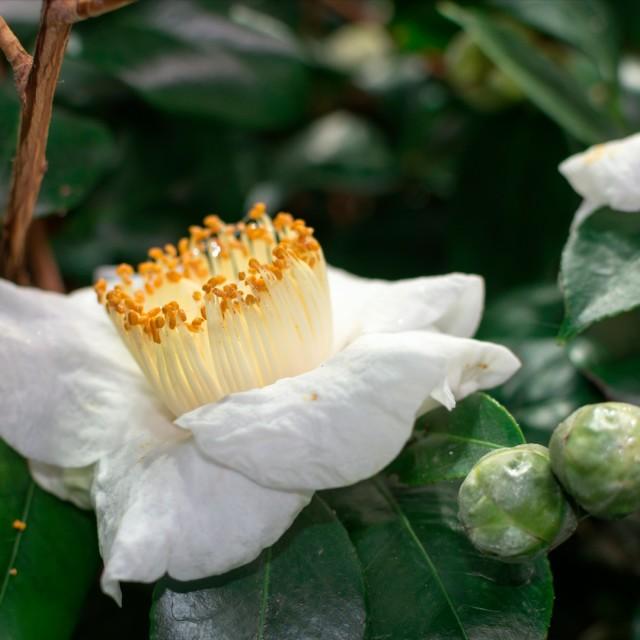 """Camellia"" stock image"