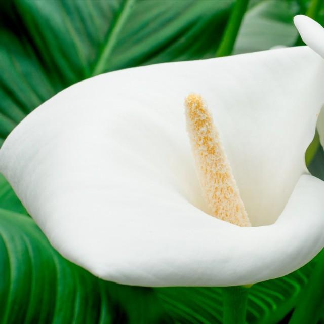 """""""White calla lily"""" stock image"""