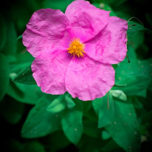 """""""Rock rose"""" stock image"""