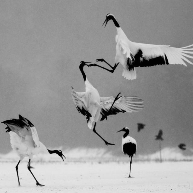 """Ninja Japanese cranes"" stock image"