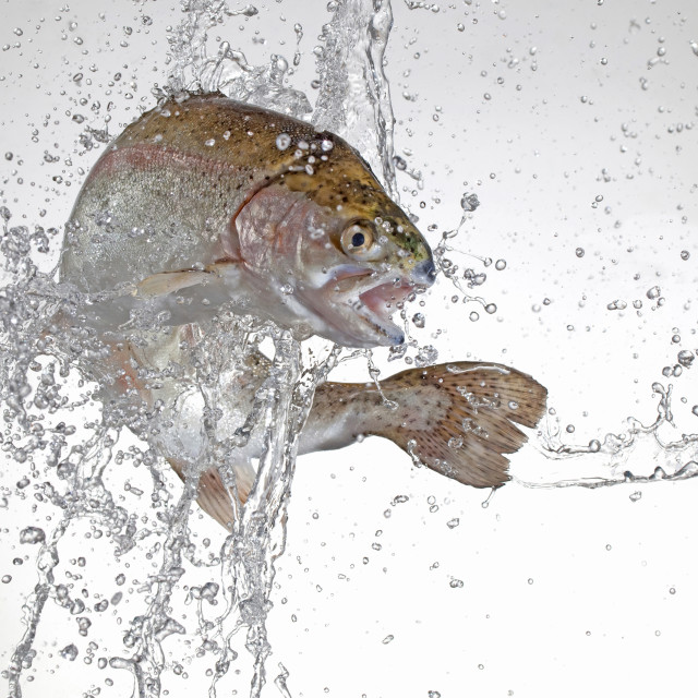 """trout splash"" stock image"