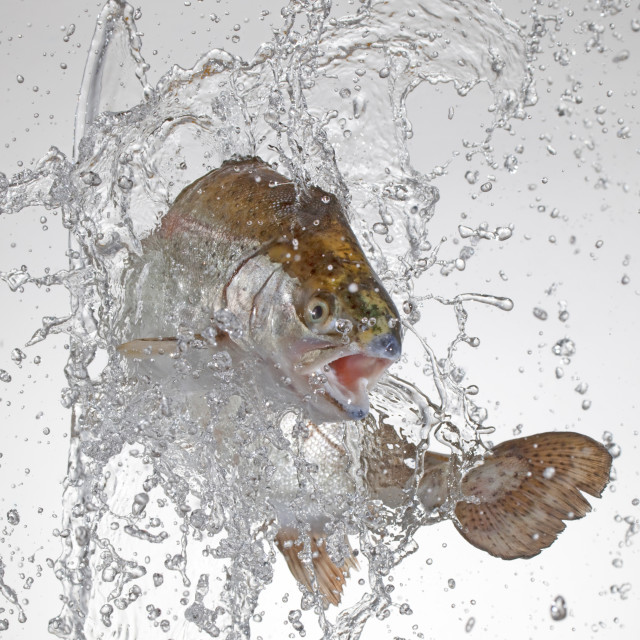 """jumping trout"" stock image"