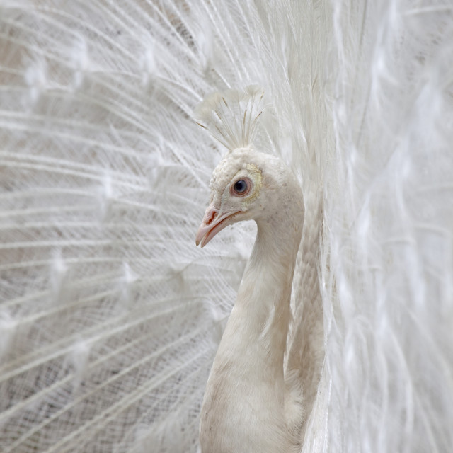 """white peacock"" stock image"