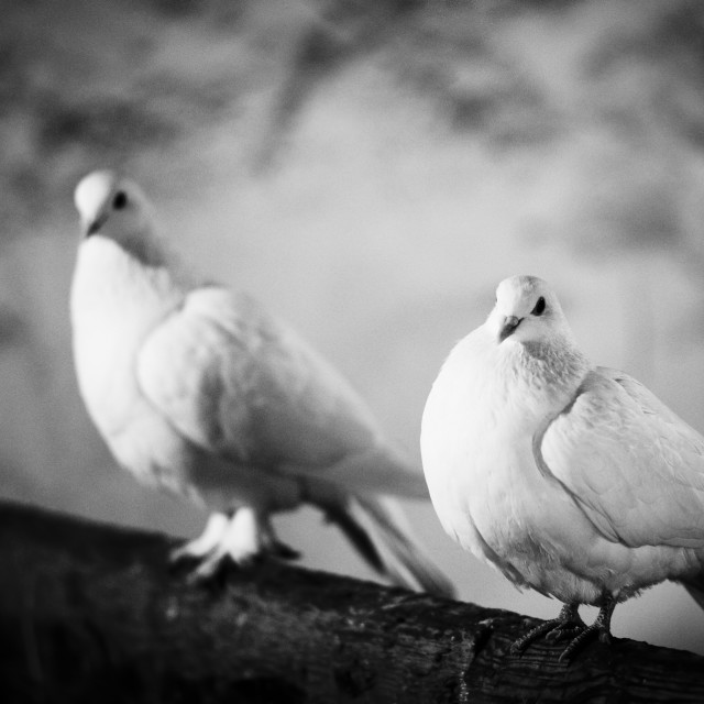 """Doves"" stock image"