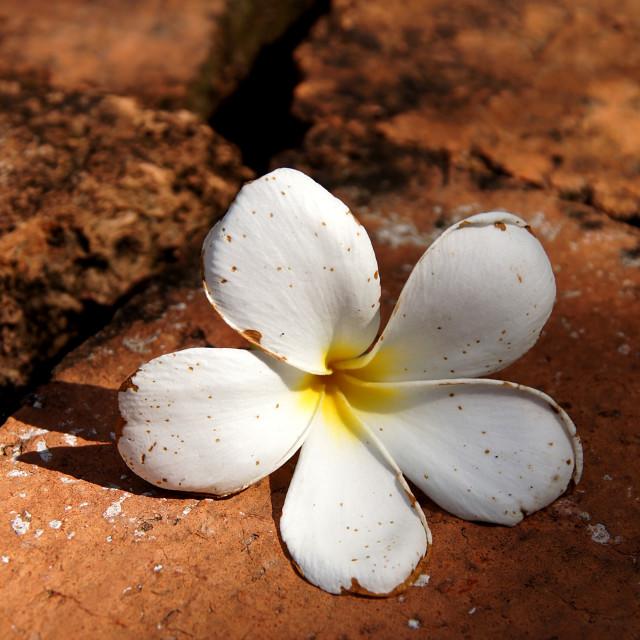 """""""White Plumeria"""" stock image"""